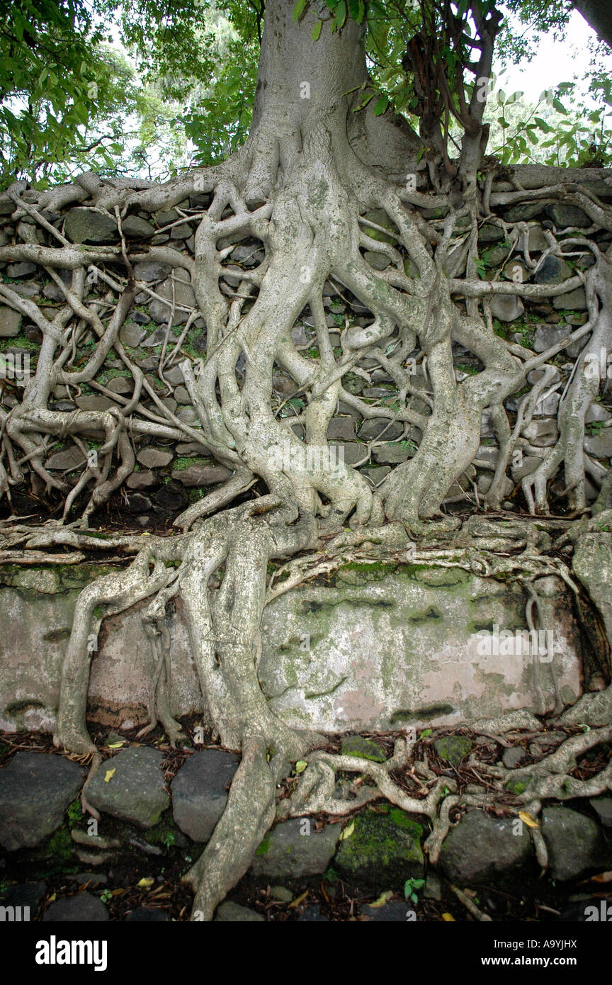 Root system of a tree at a wall Bath of Fasilidas Gondar Ethiopia Stock Photo