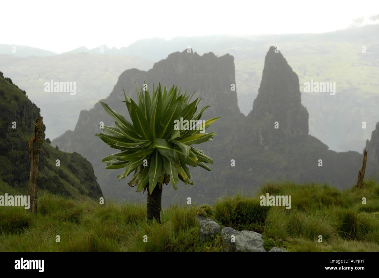 Giant Lobelias Lobelia rhynchopetalum in front of craggy mountain formations in the Semien Mountains near Debark Stock Photo