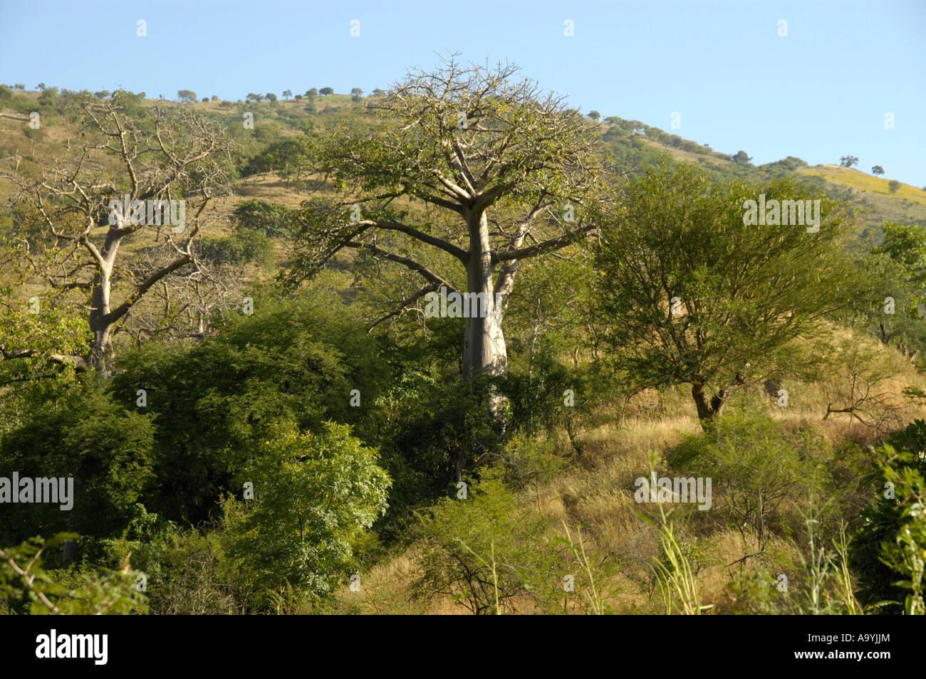 Baobab trees near the Tekeeze River near Aksum Ethiopia Stock Photo