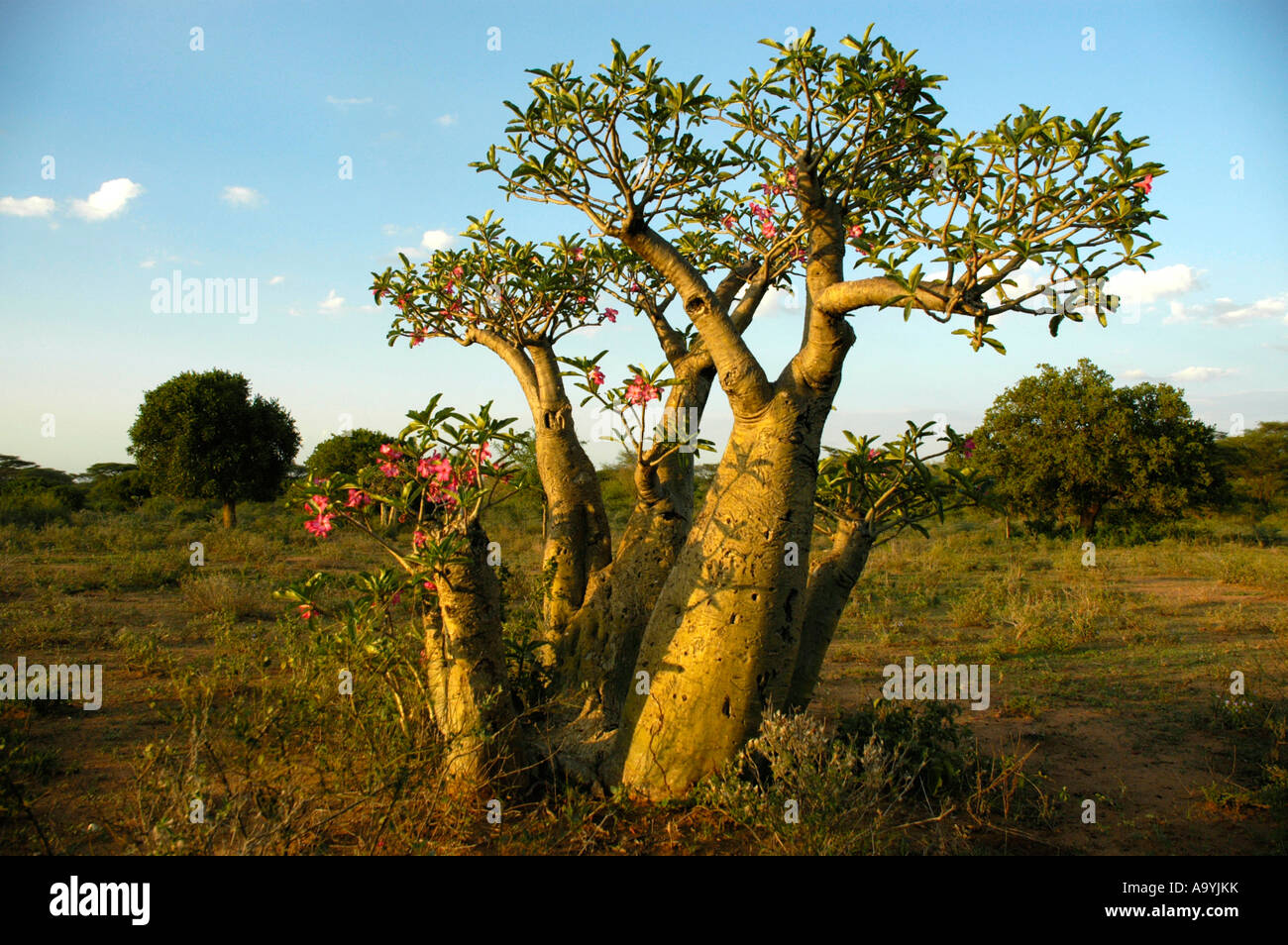 Tree of a Desert rose in the savannah Turmi Ethiopia Stock Photo