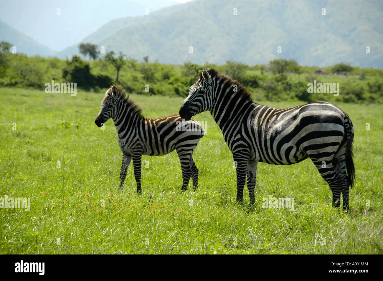 Zebras mother with her foal in the savannah Nechisar National Park near Arba Minch Ethiopia Stock Photo