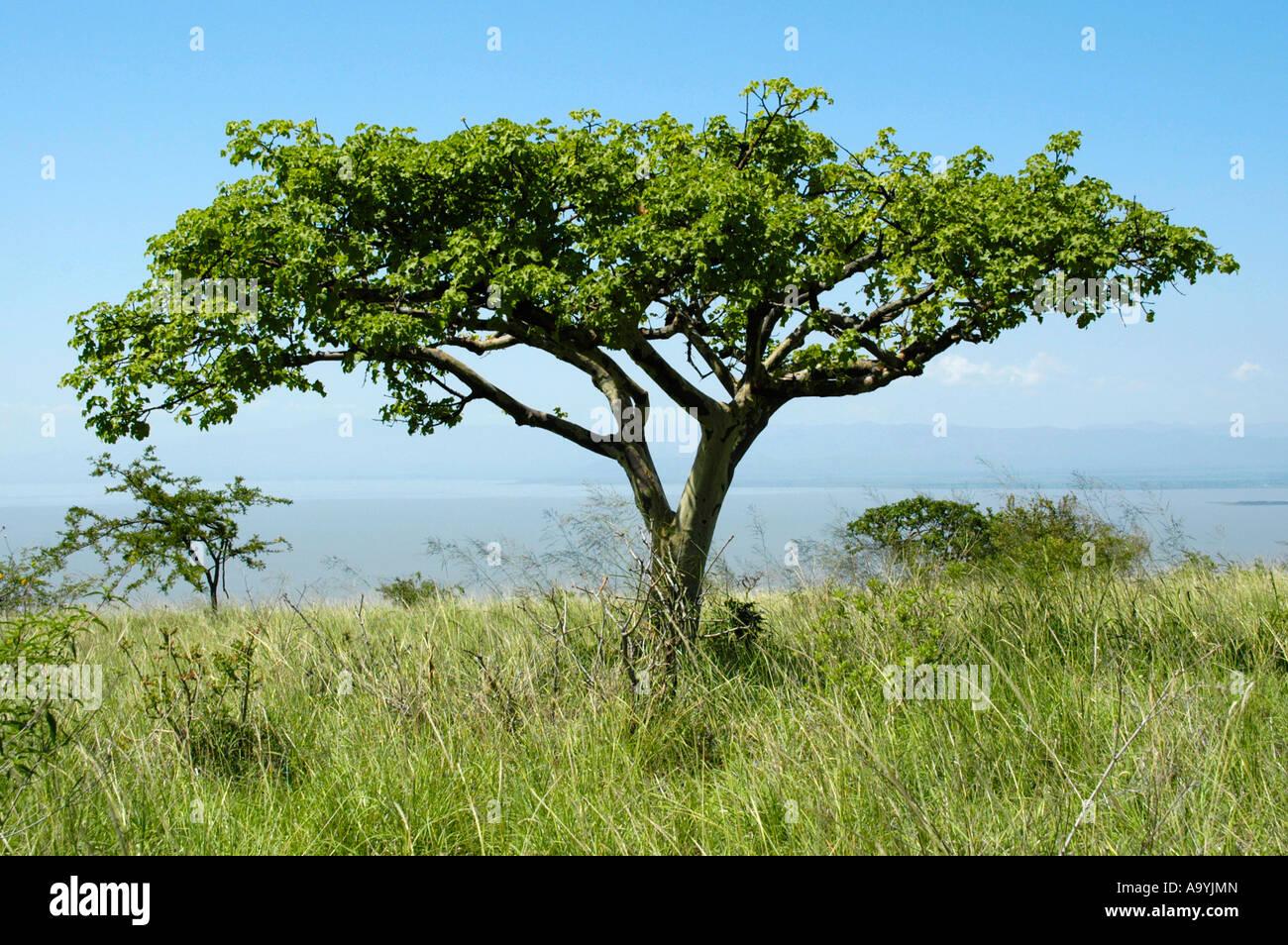 Acacia tree in the savannah Nechisar Natioinal Park near Arba Minch Ethiopia - Stock Image