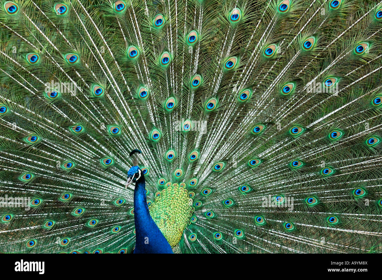Peacock, Male Indian Peafowl, Blue Peafowl, Pavo cristatus Stock Photo