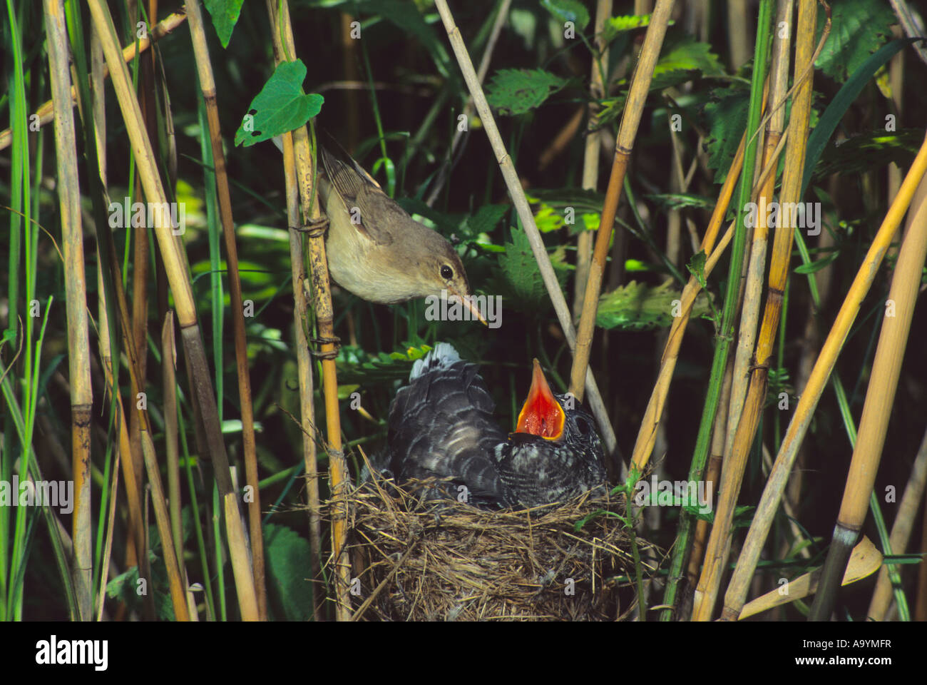 Common Cuckoo (Cuculus canorus) feeded by Eurasian Reed Warbler, Hortobagy-Lakes, Hungary Stock Photo