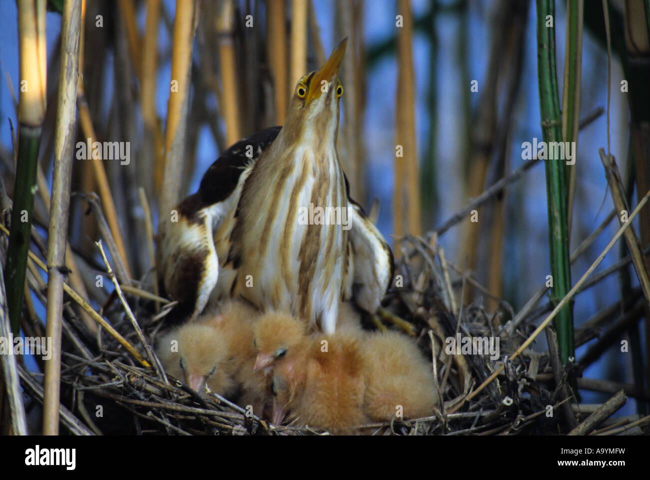 (Ixobrychus minutus) family Ardeidae, Hortobagy-lakes, Hungary Stock Photo