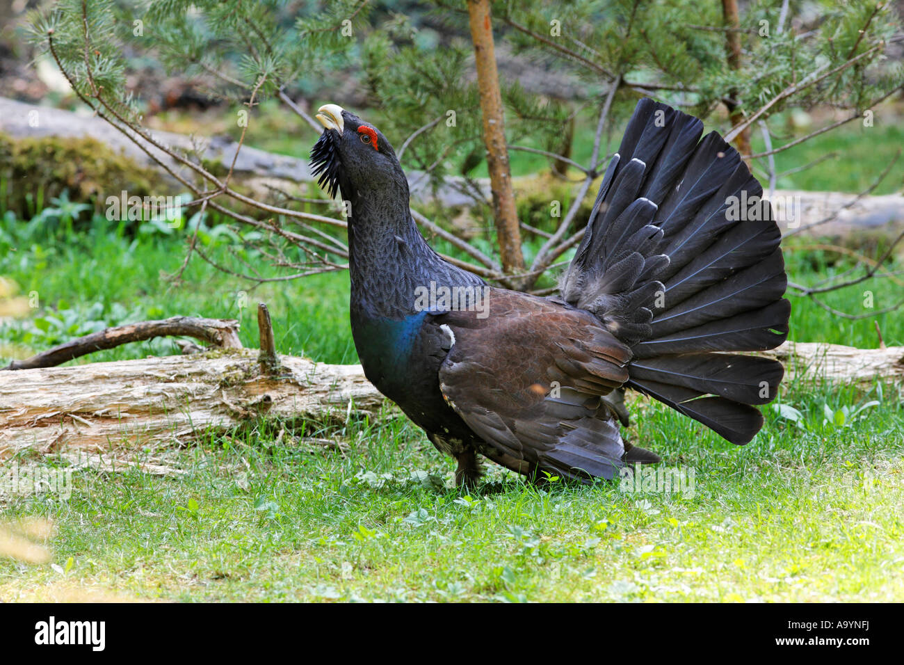 Capercaillie, wood grouse (Tetrao urogallus), Bavaria, Germany - Stock Image
