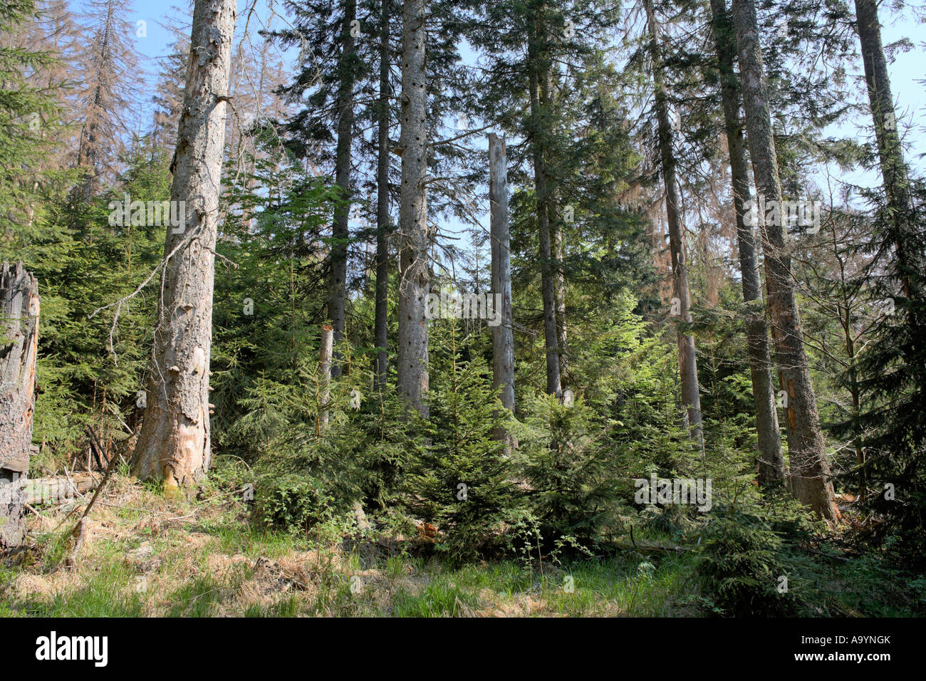 Mixed forest with dead and young spruces, regeneration, Bayerischer Wald National park, Lower Bavaria, Germany - Stock Image