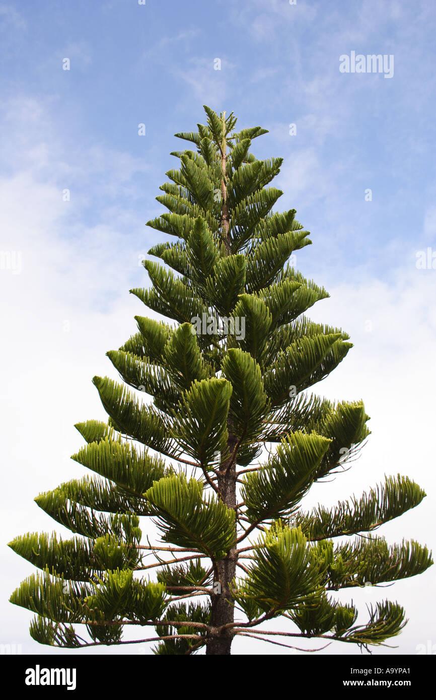 Australian Christmas Tree Pine.Pine Tree Point Cartwright Queensland Australia Bapd1723