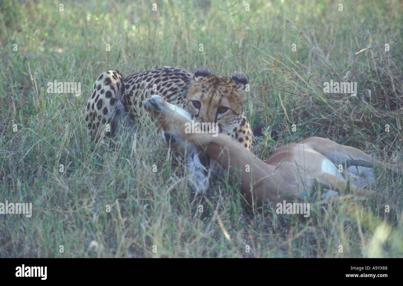 Cheetah Acynonyx jubatus strangling impala - Stock Image