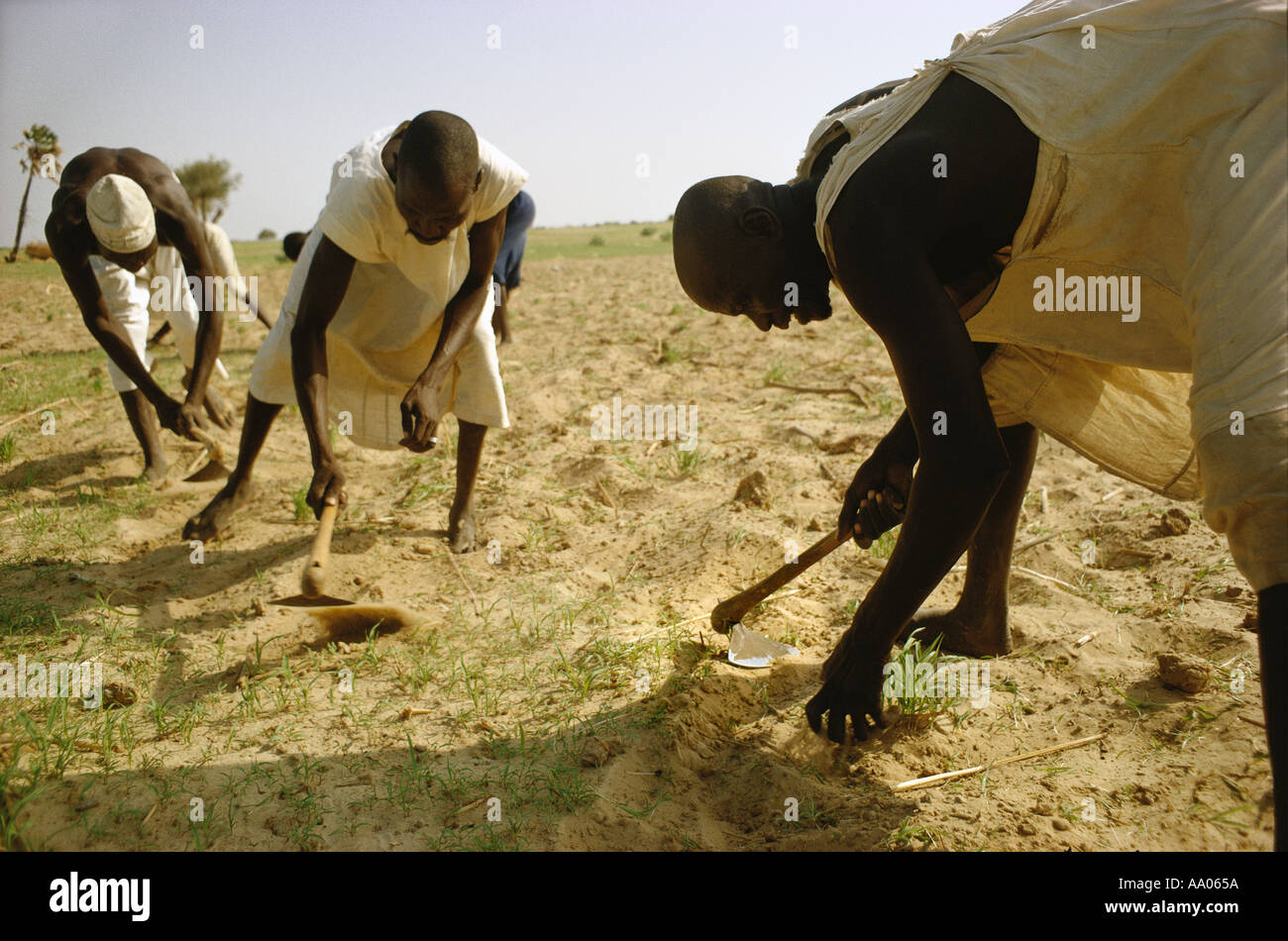 Africa Chad islands of Lake Chad Buduma men weeding millet field with hoe - Stock Image