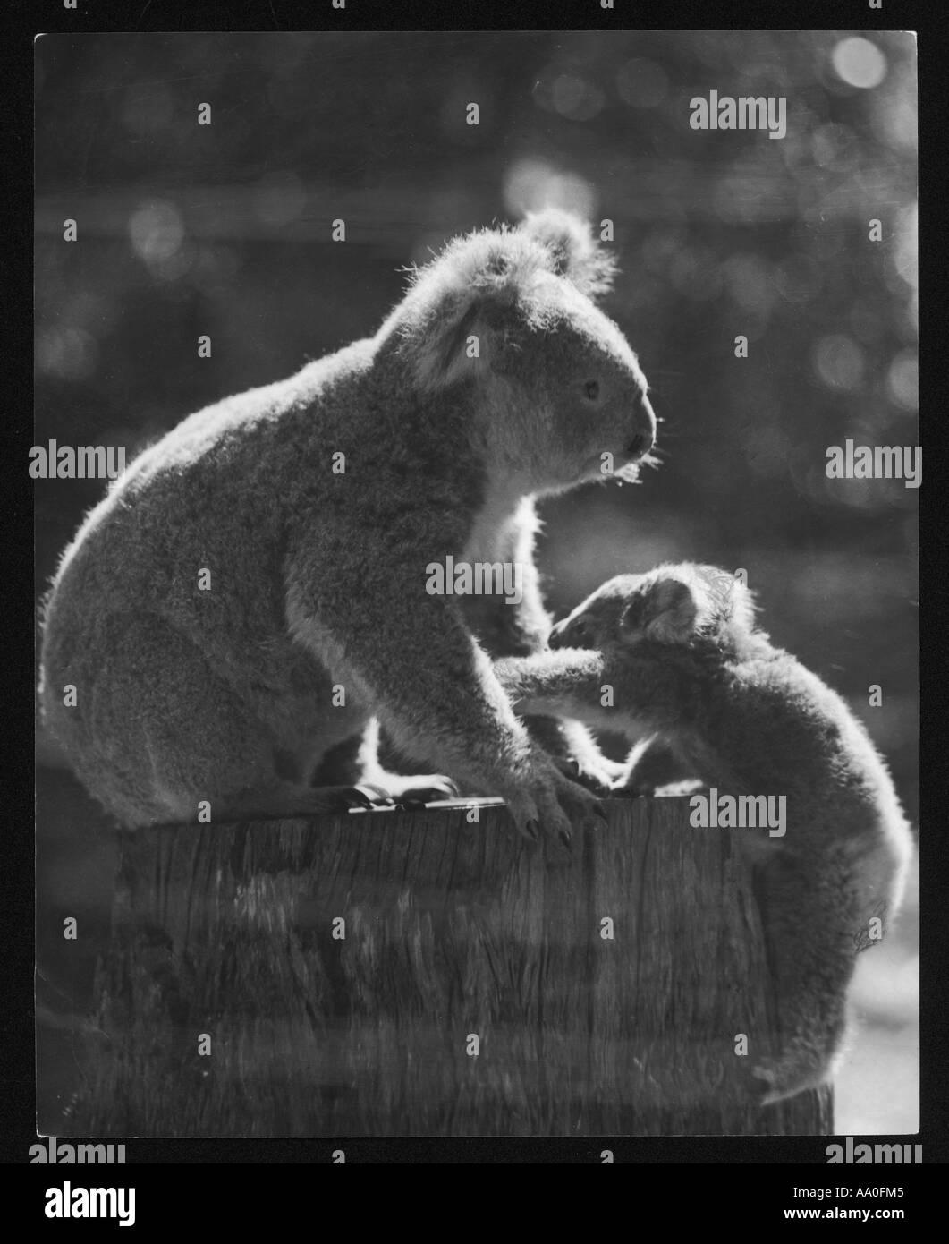 Koala Bear And Cub - Stock Image