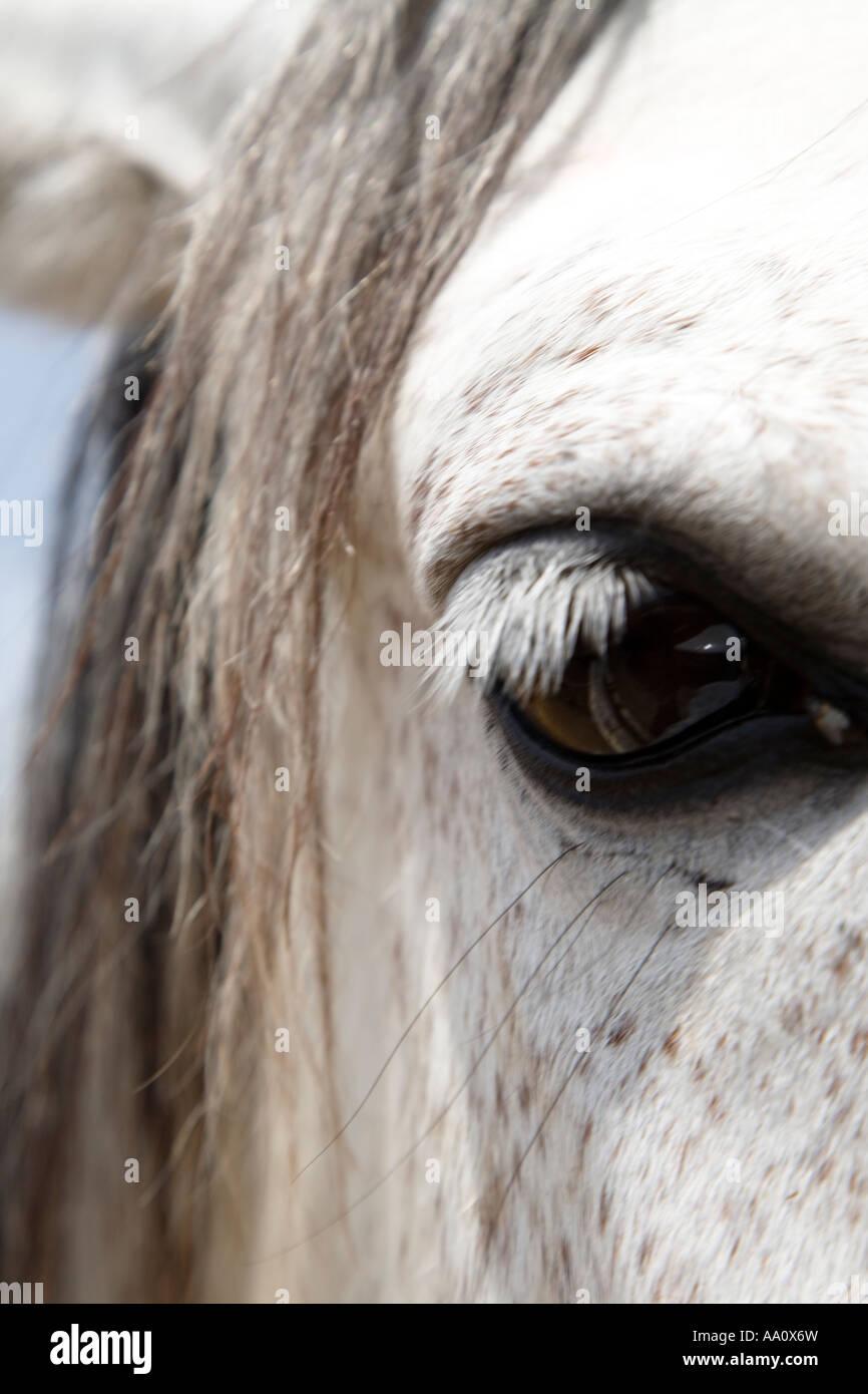 Dapple gray horse eye detail - Stock Image