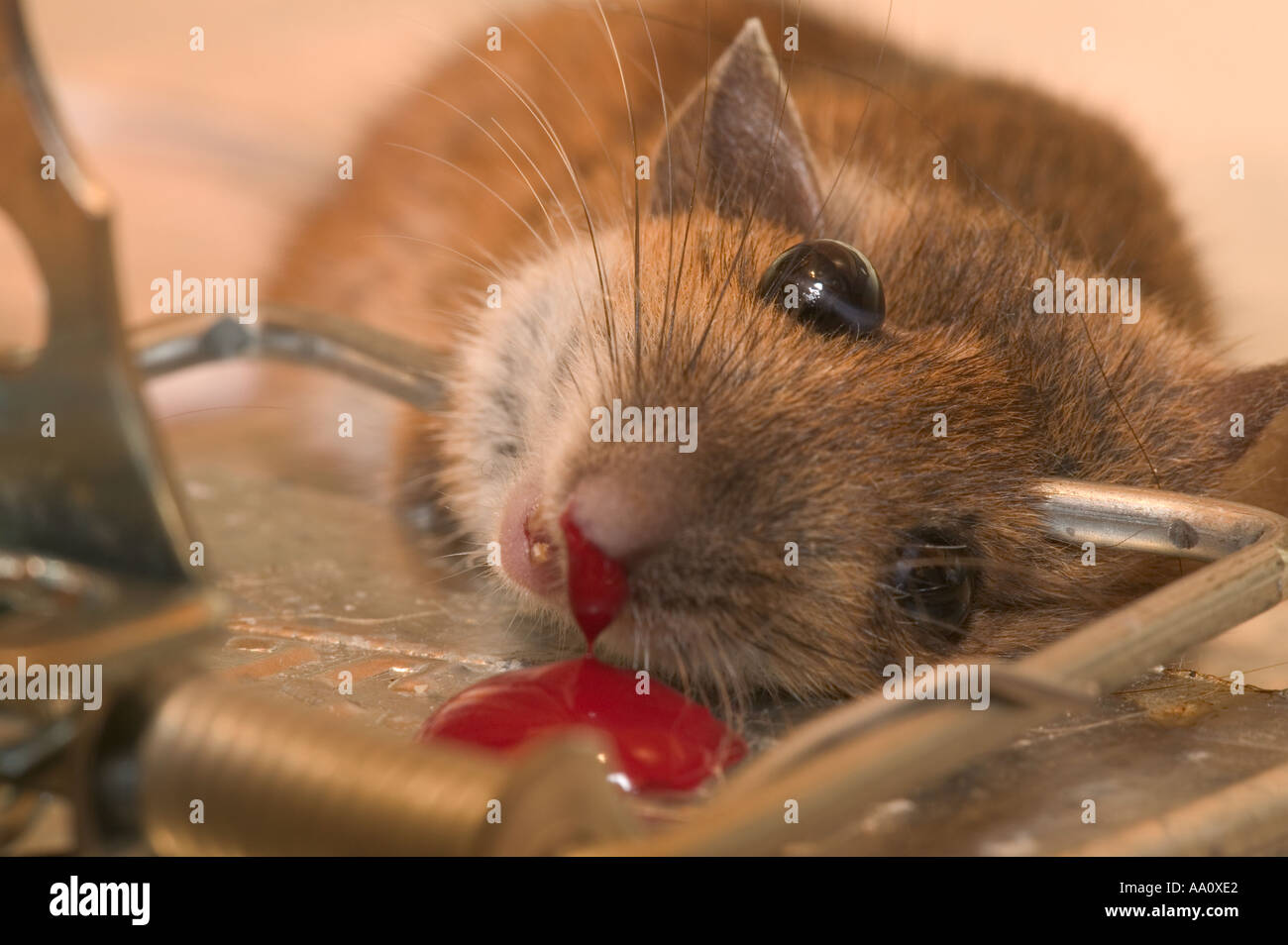 a mouse caught in a trap Stock Photo - Alamy