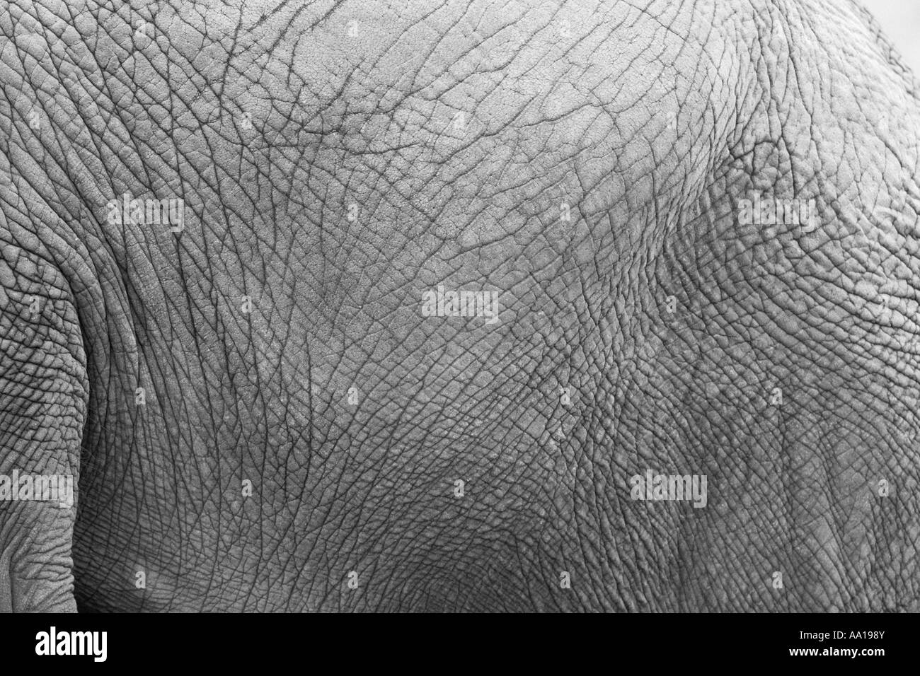 Elephants skin - Stock Image