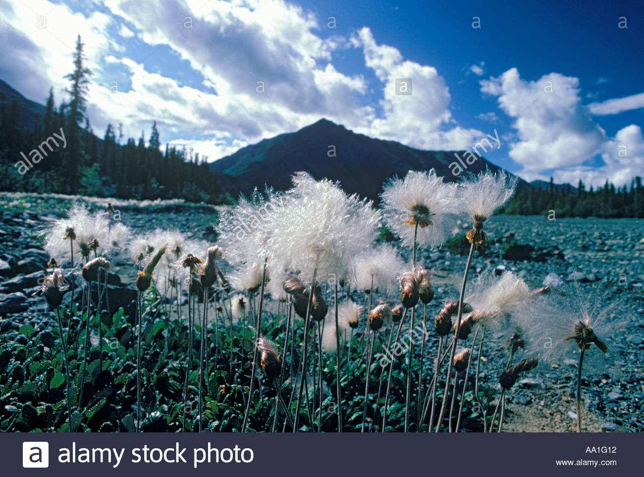 Cottongrass at Congdon Creek in Kluane National Park in Yukon Territory Canada - Stock Image