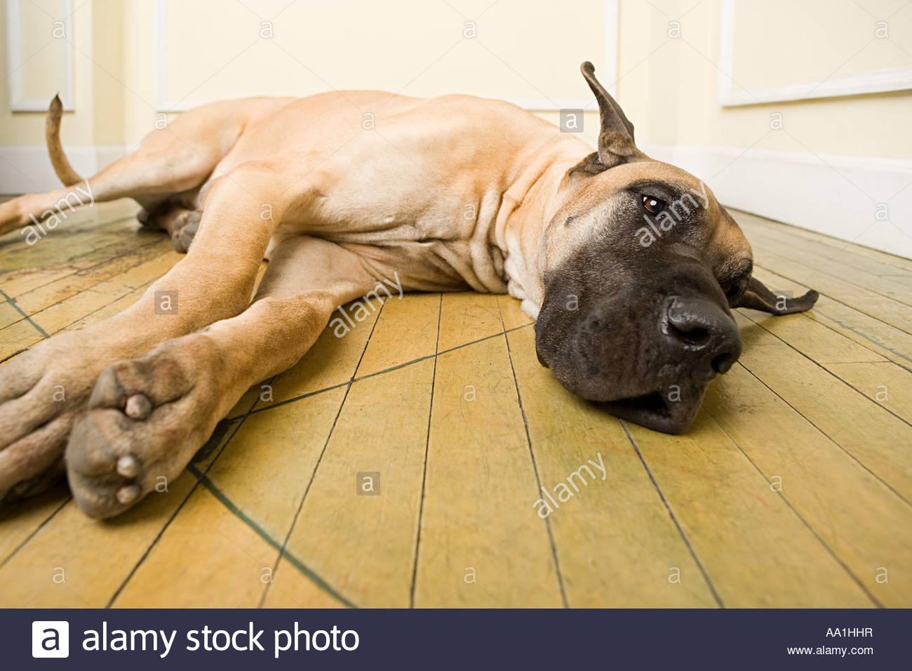 Great dane lying on floor - Stock Image