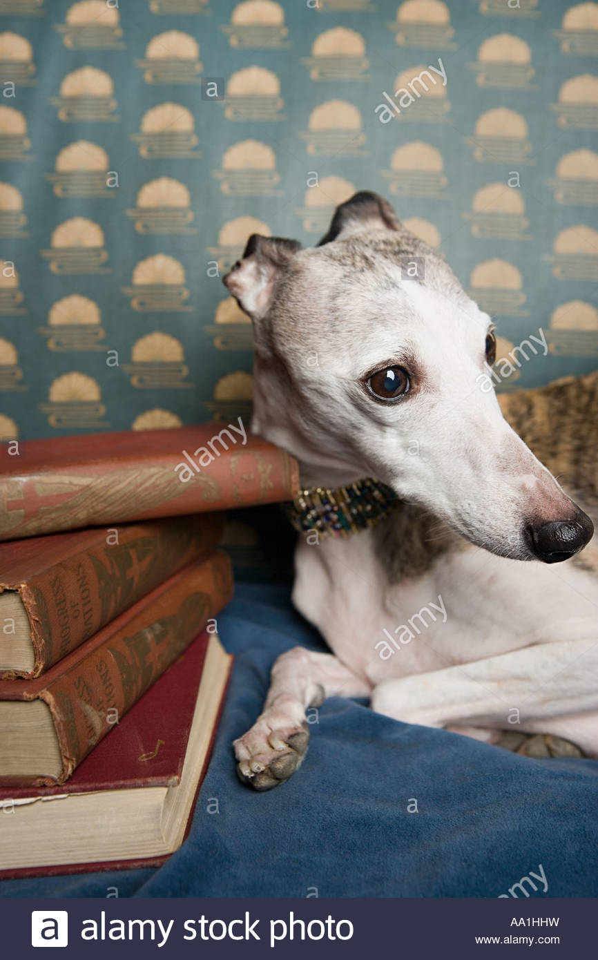 Whippet with pile of books - Stock Image