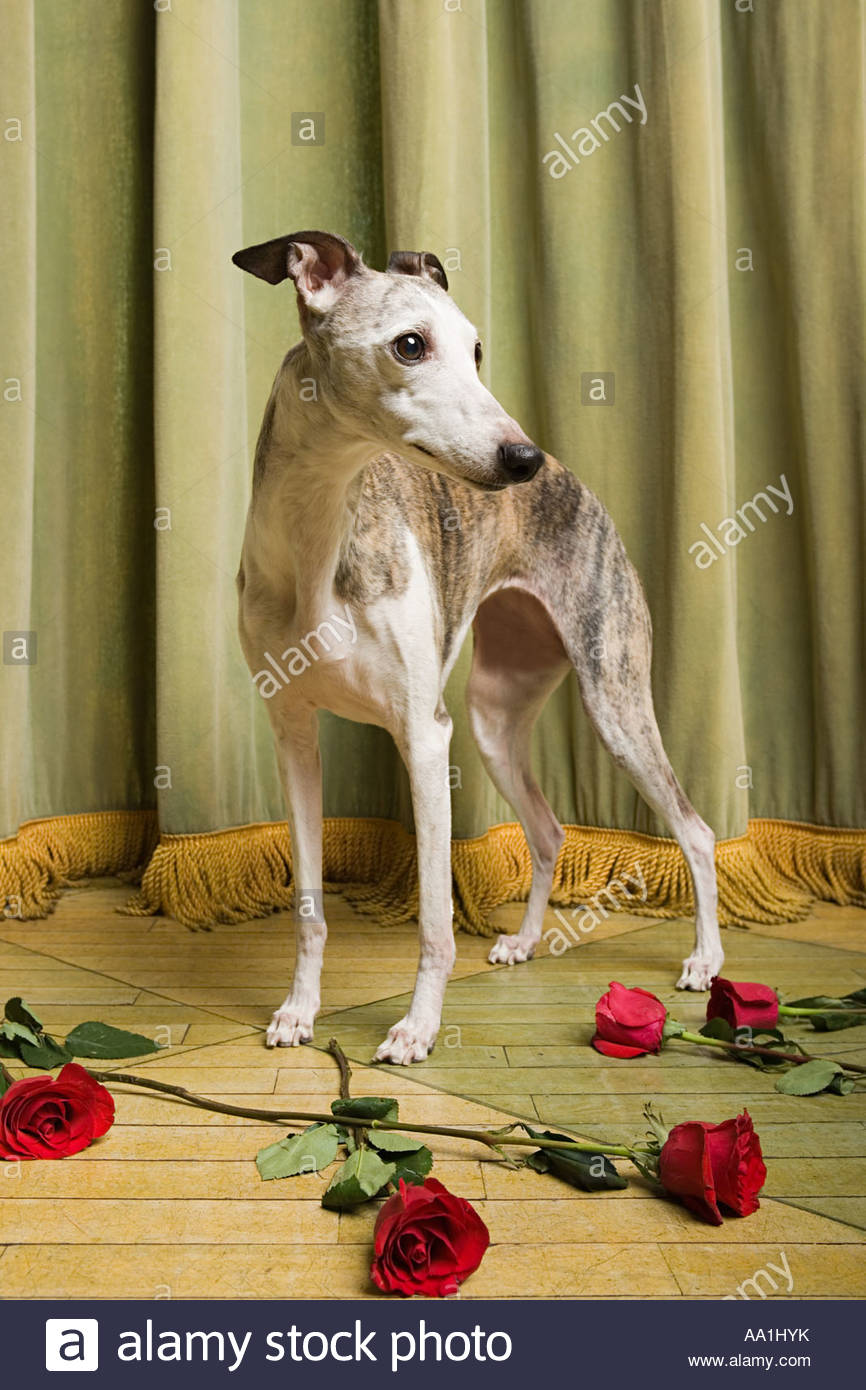 Whippet on stage with roses - Stock Image