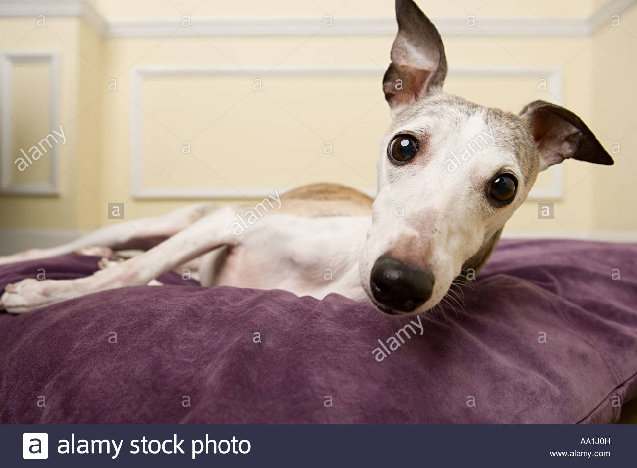 Whippet on a cushion - Stock Image