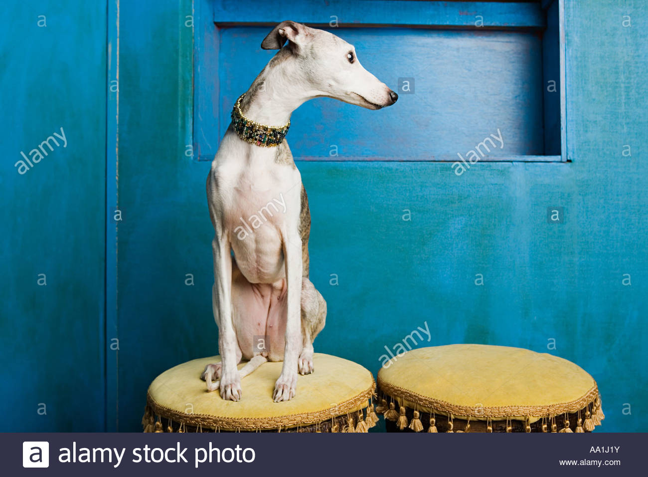 Whippet on a stool - Stock Image