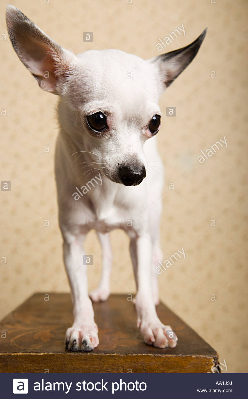Chihuahua - Stock Image