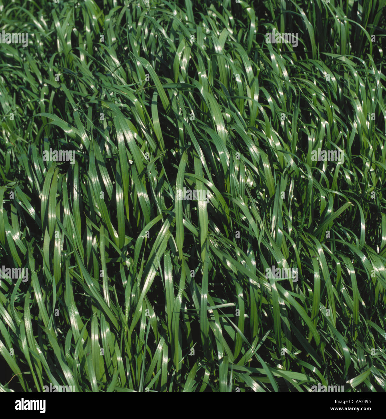 Ryegrass ley before the first cut - Stock Image