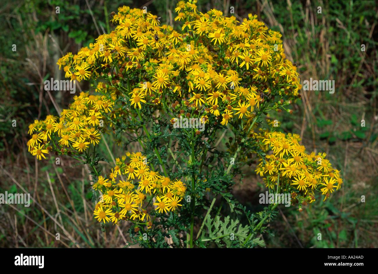 Ragwort Plant In Flower Senecio Jacobea This Plant Is Poisonous To