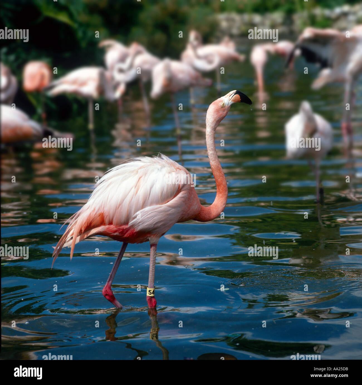 Pink Flamingos Sea World Orlando Florida Usa Stock Photo Alamy
