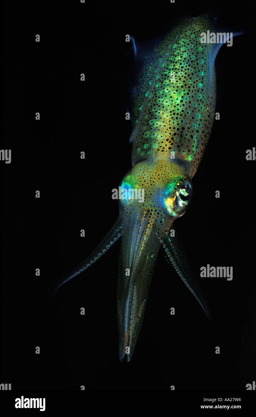 dp102 Opalescent Squid, also known as Market Squid, Loligo opalescens. Australia Pacific Ocean Photo Copyright Brandon Cole - Stock Image