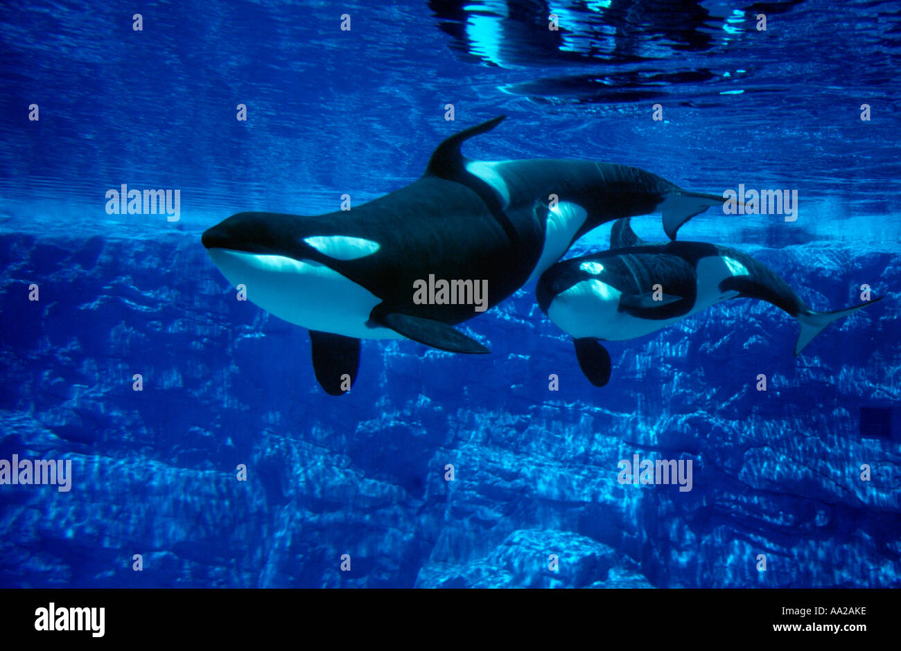 MF 441 Orca Whales, Orcinus orca, mother and calf in aquarium. Photo Copyright Brandon Cole - Stock Image