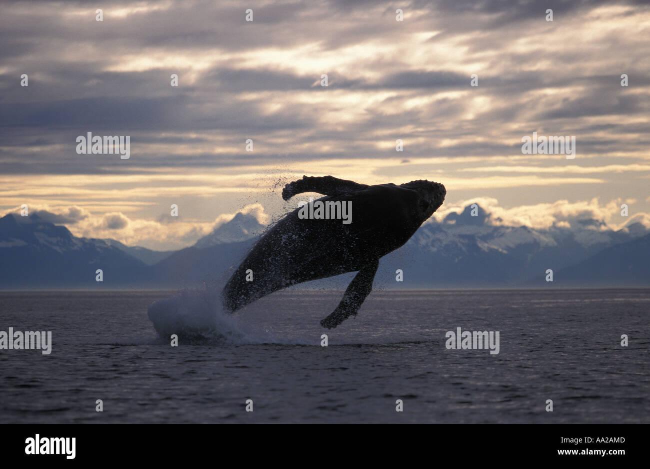 mi25 Humpback Whale, Megaptera novaeangliae, breaching. Alaska USA Pacific Ocean. Photo Copyright Brandon Cole - Stock Image