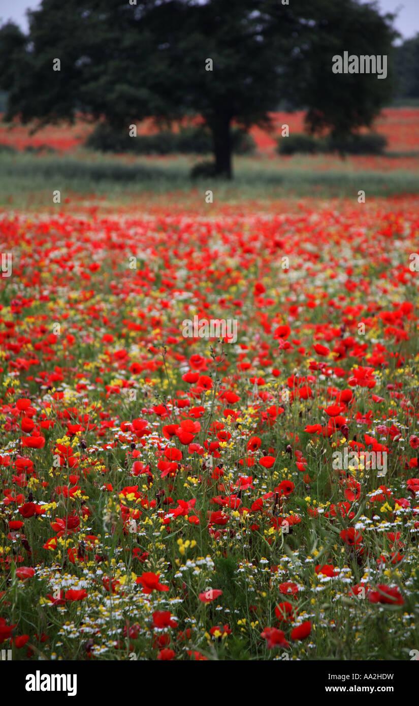 Poppy Fields - Stock Image