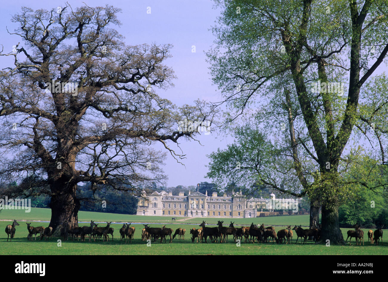 Woburn Park, Bedfordshire, Herd of Deer, Parkland, England, UK, stately home, heritage, history, travel, tourism - Stock Image