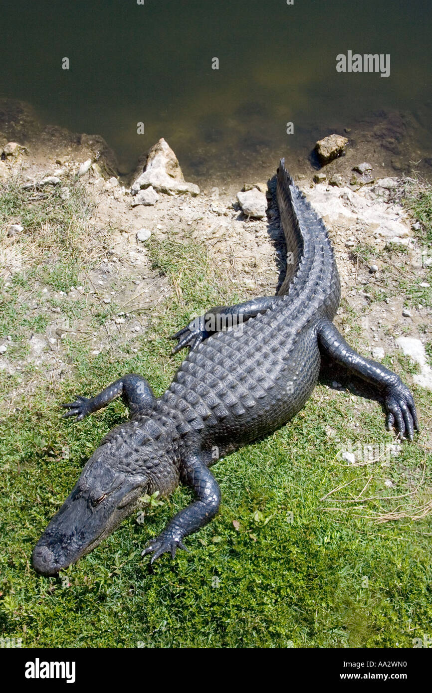 alligator adult sex dating Hornymatchescom was created because we were looking for sex dates on the internet, and a lot of people were looking for the same thing - so we decided to create this site it had a lot more success than we anticipated and it grew really quickly to millions of members.