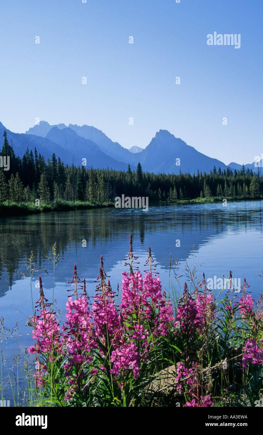 Fireweed the Opal Range and Spillway Lake, Kananaskis, Canadian Rockies - Stock Image