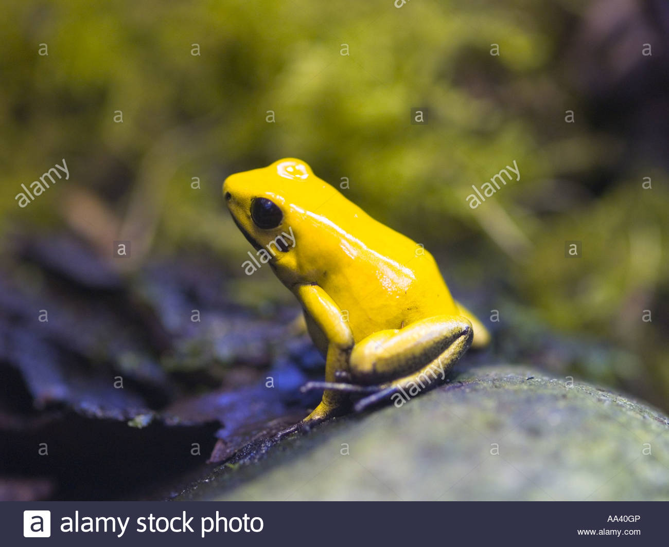 Black legged or Bi colored Poison Dart Frog Phyllobates bicolor one of the most poisonous of the South American - Stock Image