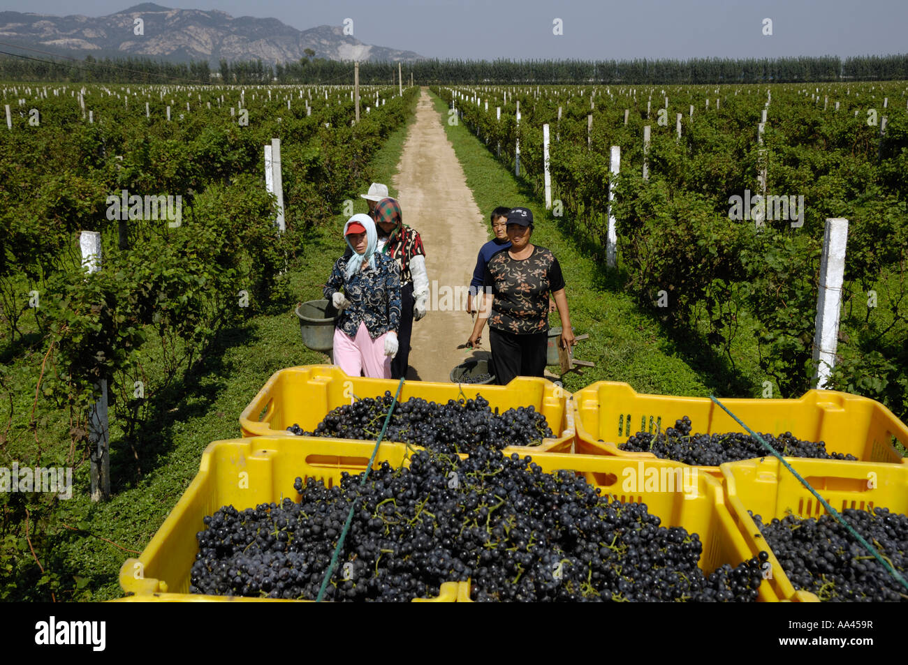 Chinese farmers pick grapes in a vineyard in Changli county, Hebei, China 28 Sep 2006 Stock Photo