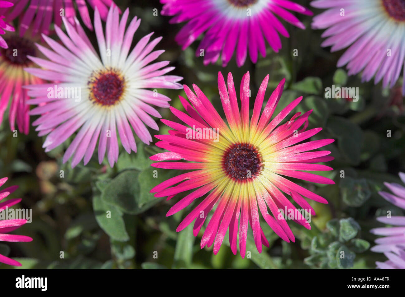 Bright pink flower with yellow centre stock photos bright pink pink and yellow and purple and white aster flower heads stock image mightylinksfo