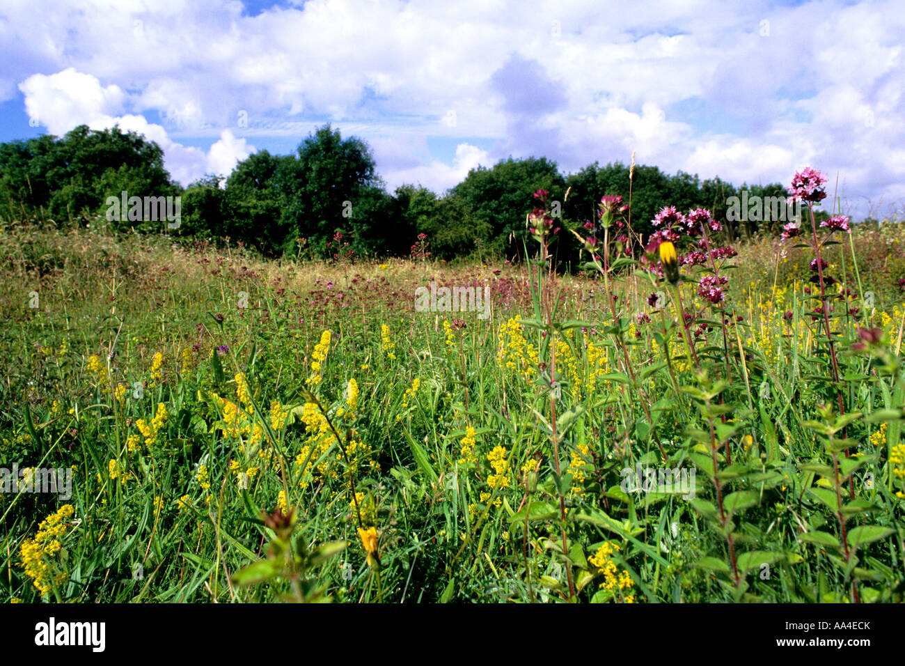 Chalk meadow at Noar Hill reserve, Hampshire - Stock Image