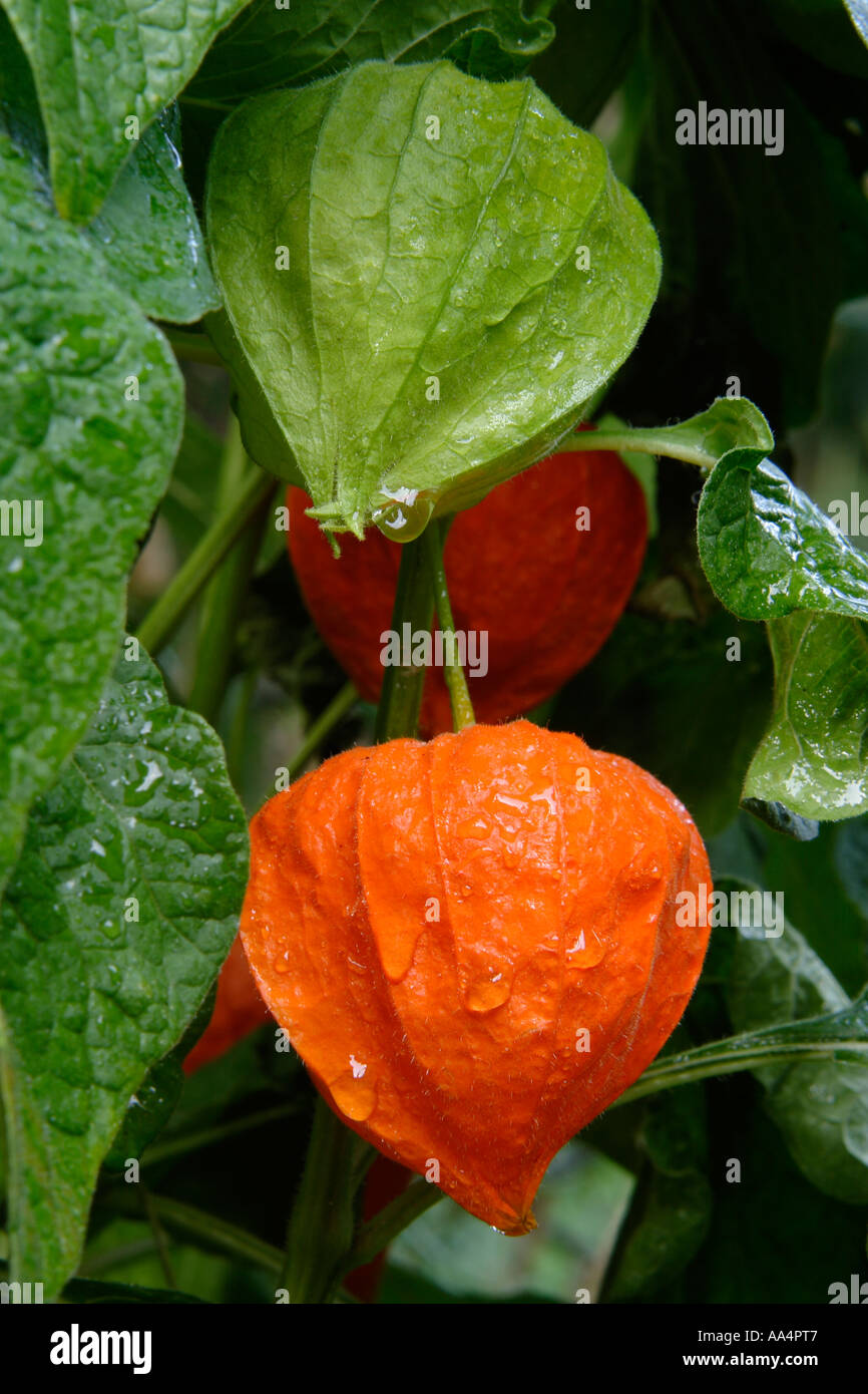 Detail of physalis alkekengi chinese lanterns on vine with dew and green leaves - Stock Image