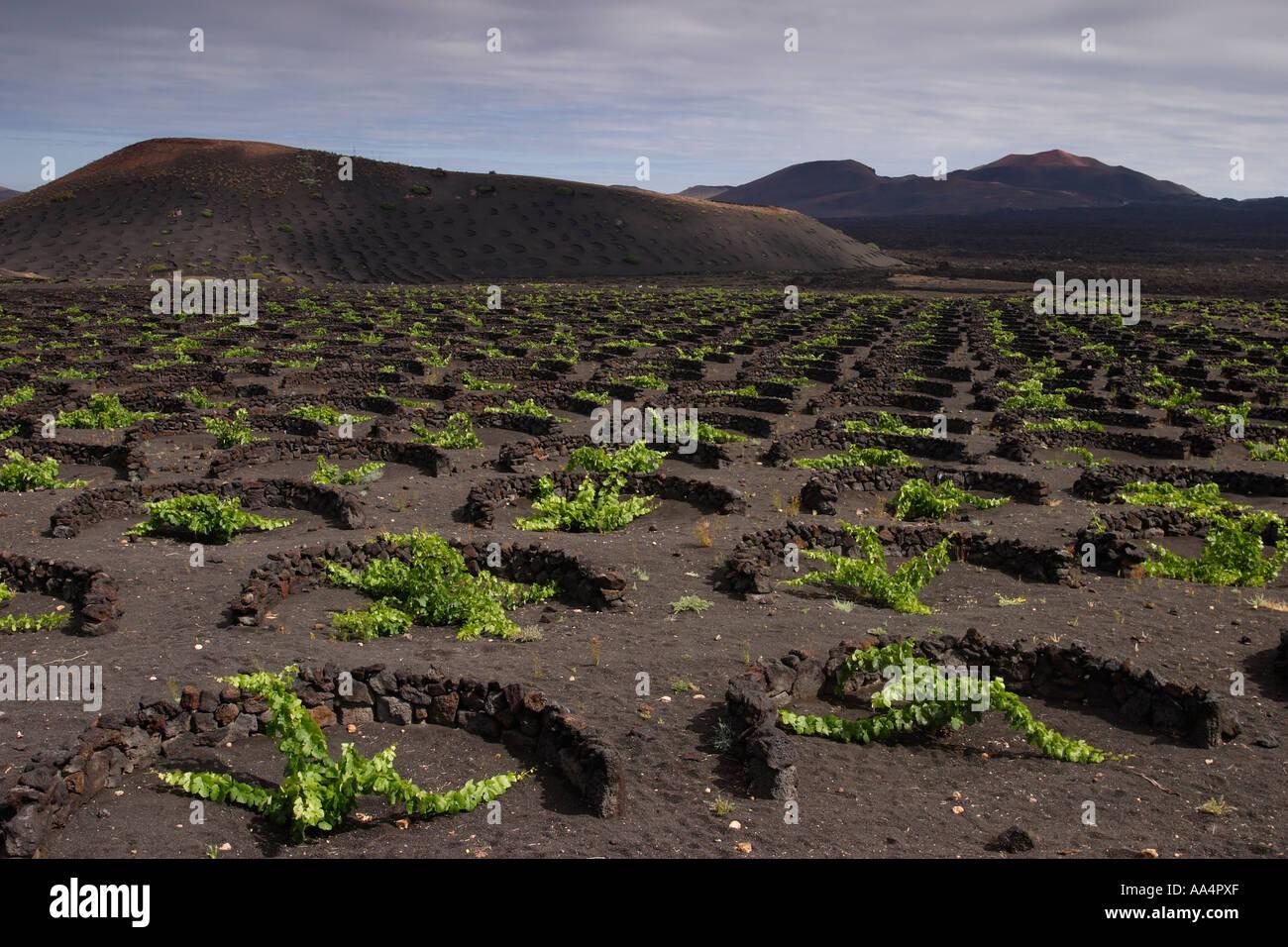 Grape vines in Lanzarote Stock Photo