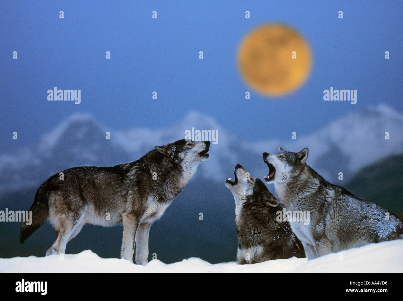 Wolf (Canis lupus). Three adults howling, seen against a mountain range and the full moon - Stock Image
