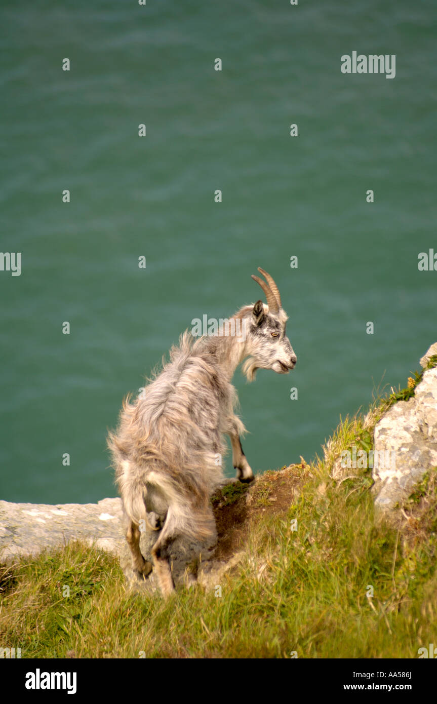 Wild longhaired