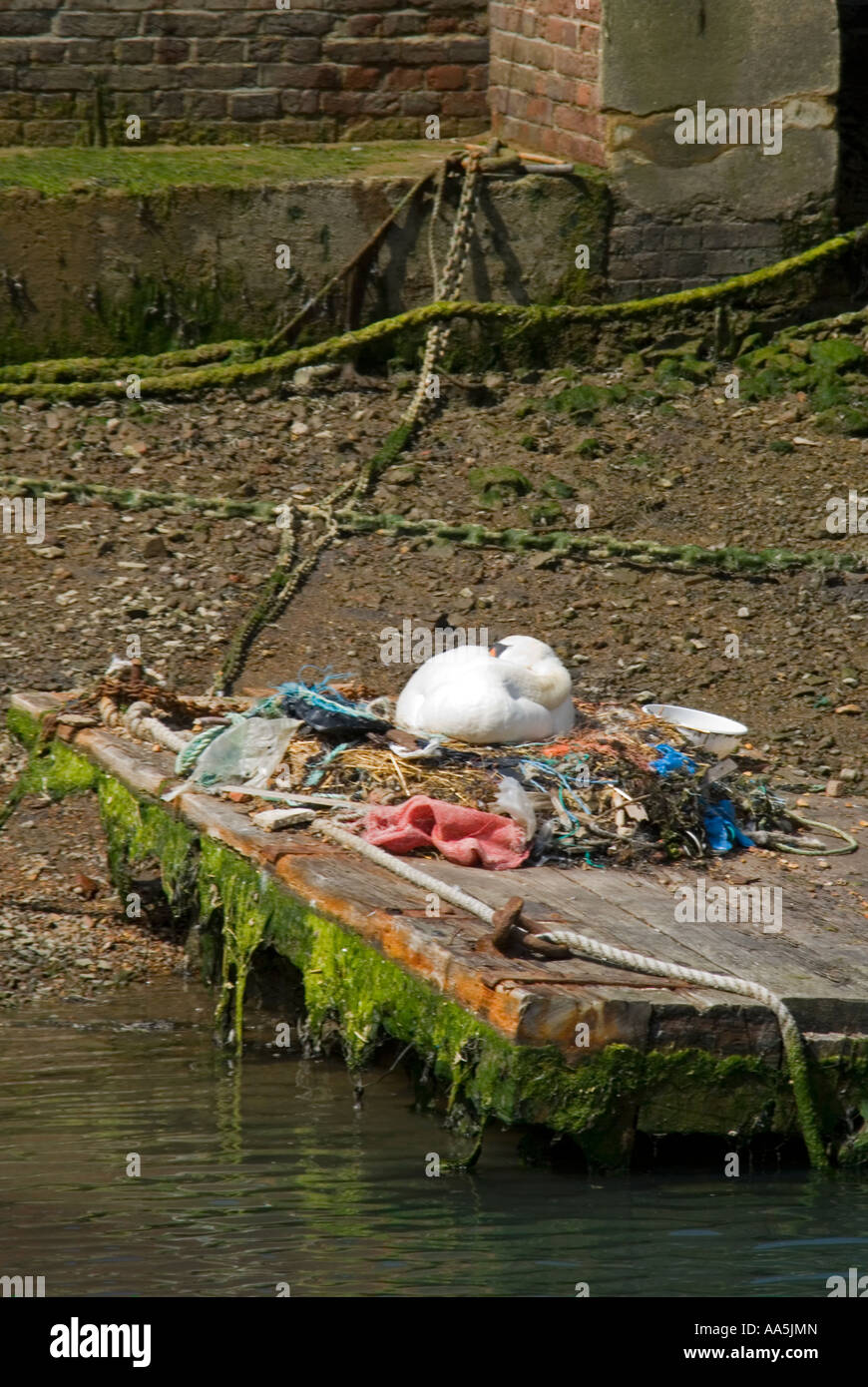 Vertical view of a female Mute swan asleep on it's nest made of recycled human rubbish discarded on the riverbank - Stock Image