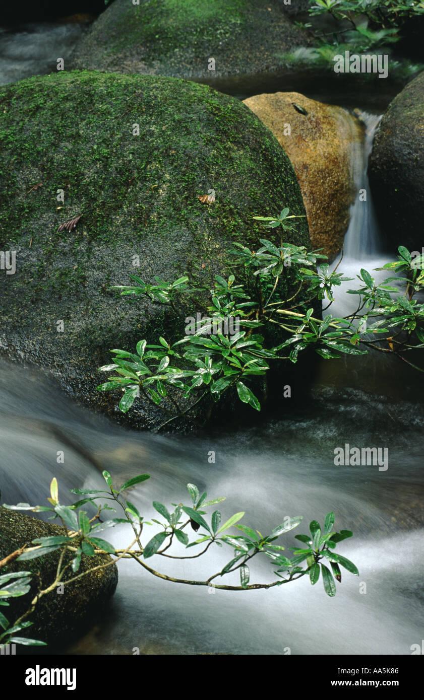Rainforest plant in a river Borneo - Stock Image