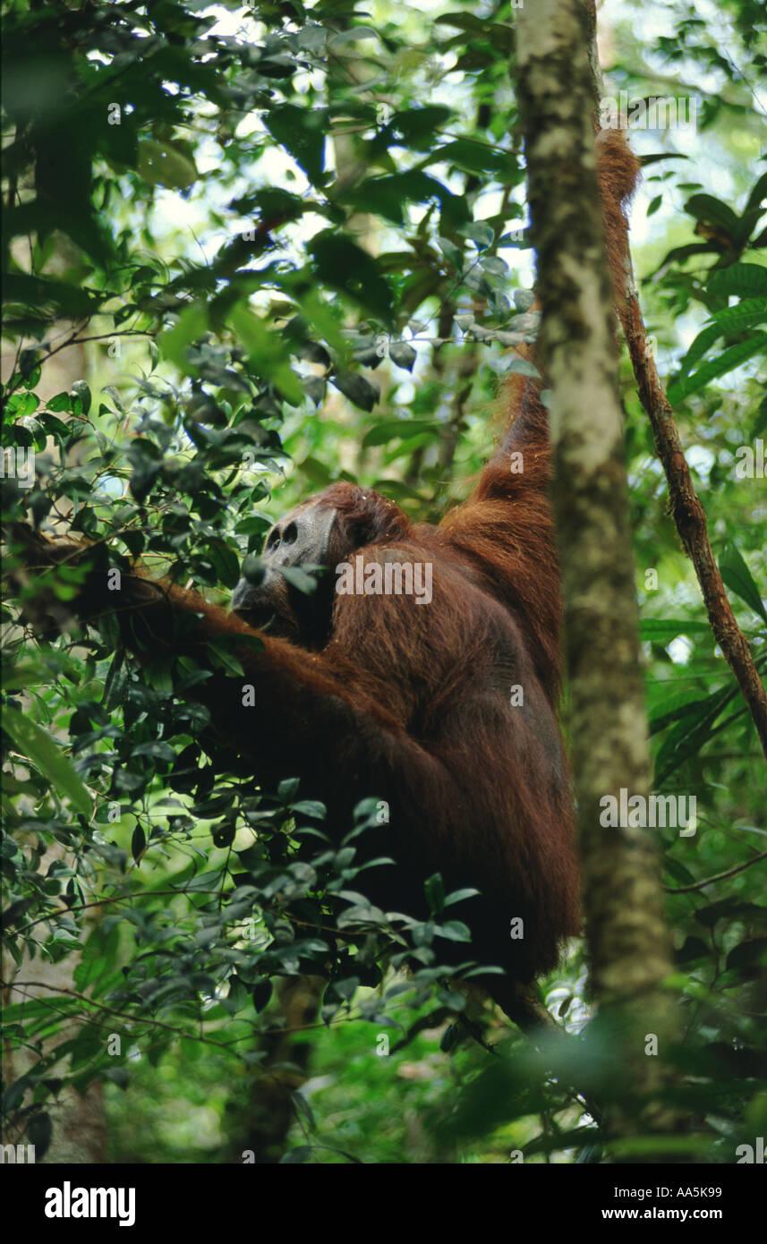 Wild adult male orangutan Indonesian Borneo - Stock Image