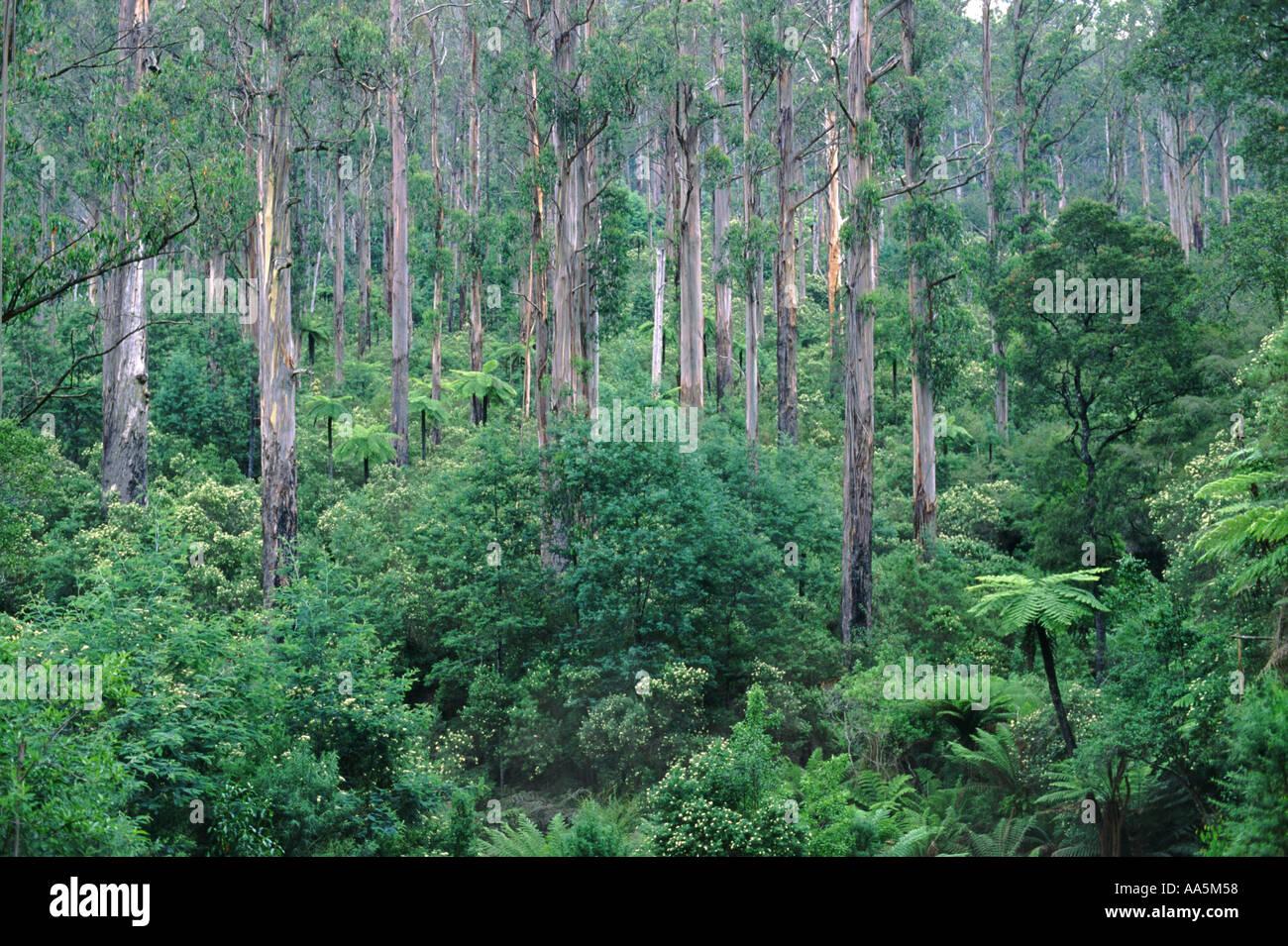 Mountain Ash forest Victoria Australia - Stock Image