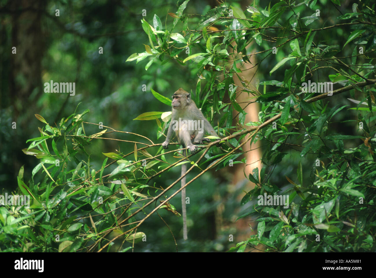 Long tailed Macaque in rainforest Borneo - Stock Image