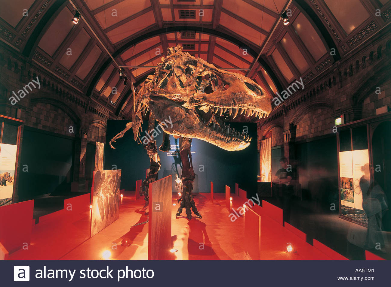Tyrannosaurus rex in the Natural History museum London - Stock Image