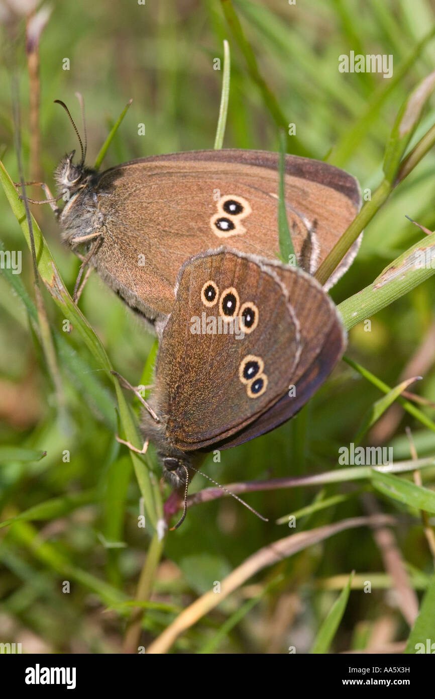 Aphantopus hyperantus the ringlet Common brown butterfly - Stock Image